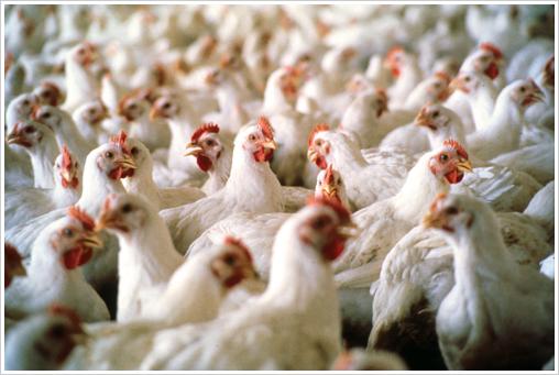 Z7 chickens