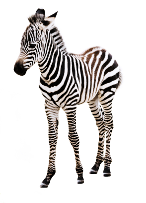 A - little zebra