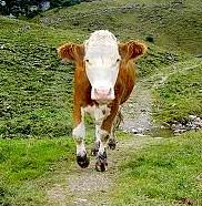 A running cow