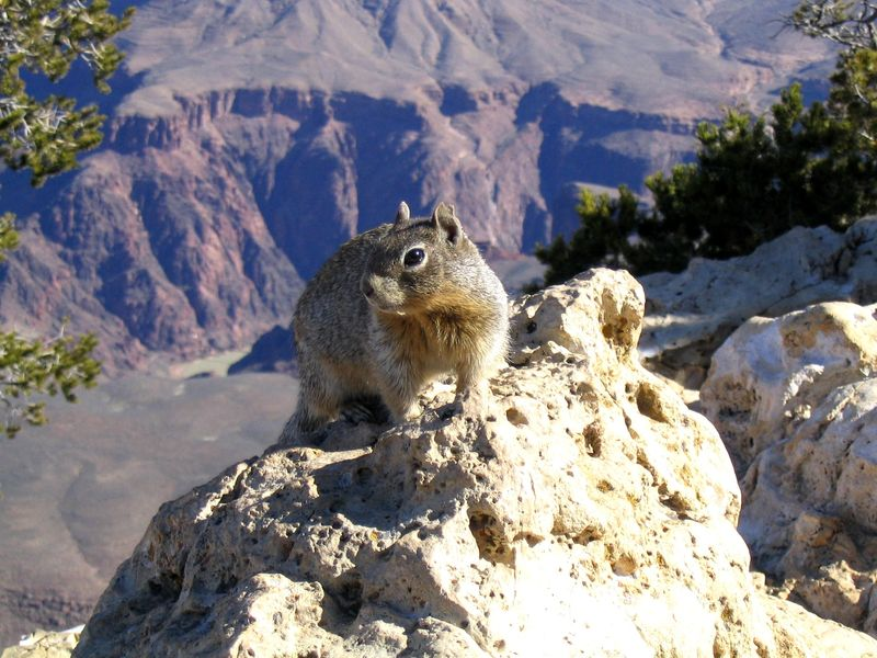 Grand Canyon Squirrel - Copyright by EthicSoup.com